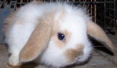 les petits b b s lapins nains sont vendre en tr s bonne sant habitu en ext rieur conseil. Black Bedroom Furniture Sets. Home Design Ideas